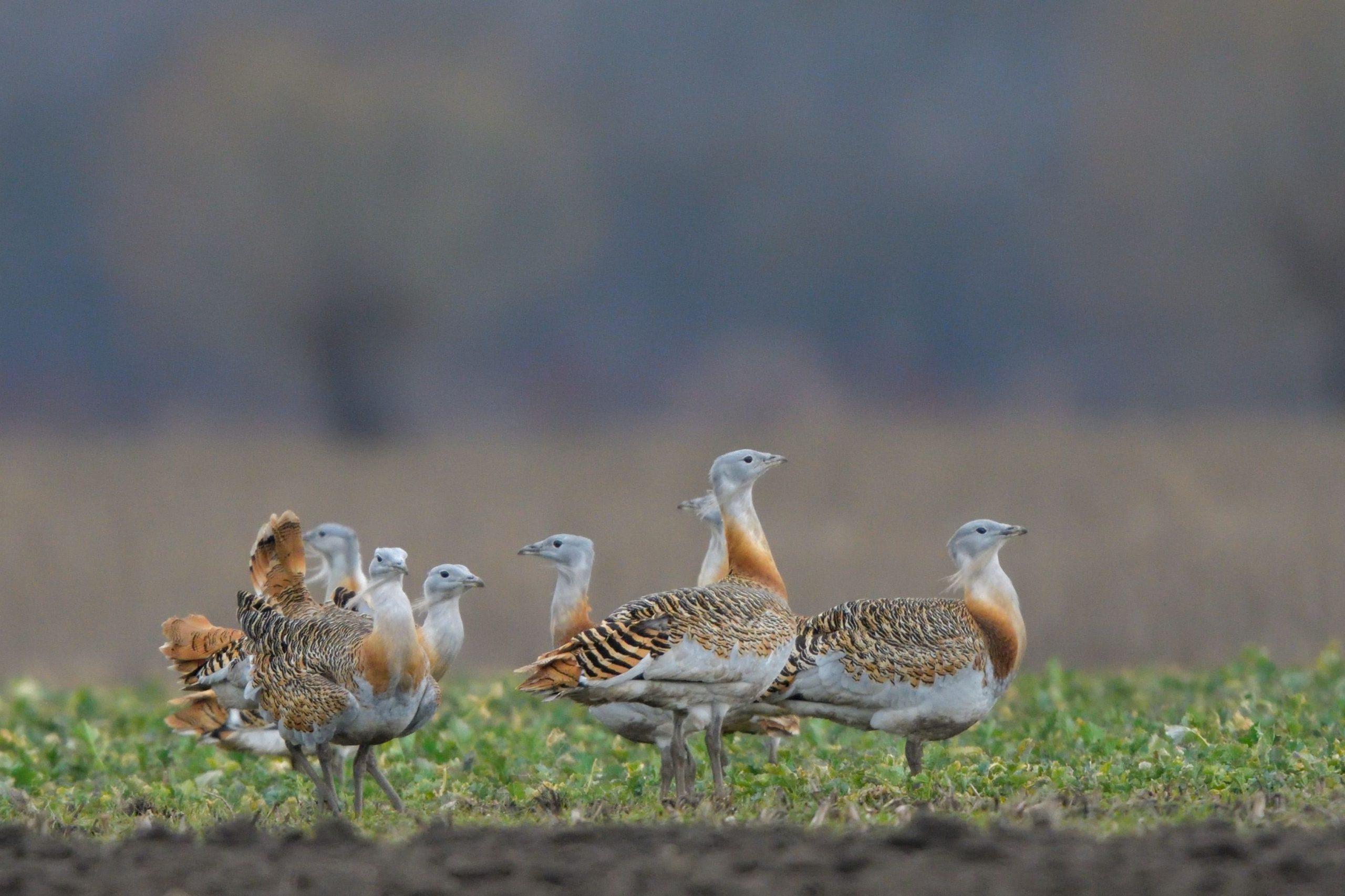 Eltűnnek a villamos légvezetékek a madarak védelmében